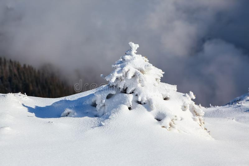 Small fluffy fir trees covered with webby snow. Spruce tree stand in snow swept mountain meadow under a gray winter sky. stock images