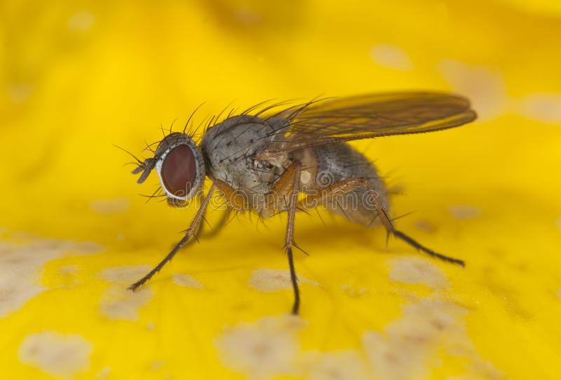 Download Small fly stock image. Image of hairy, horizontal, hair - 16894869