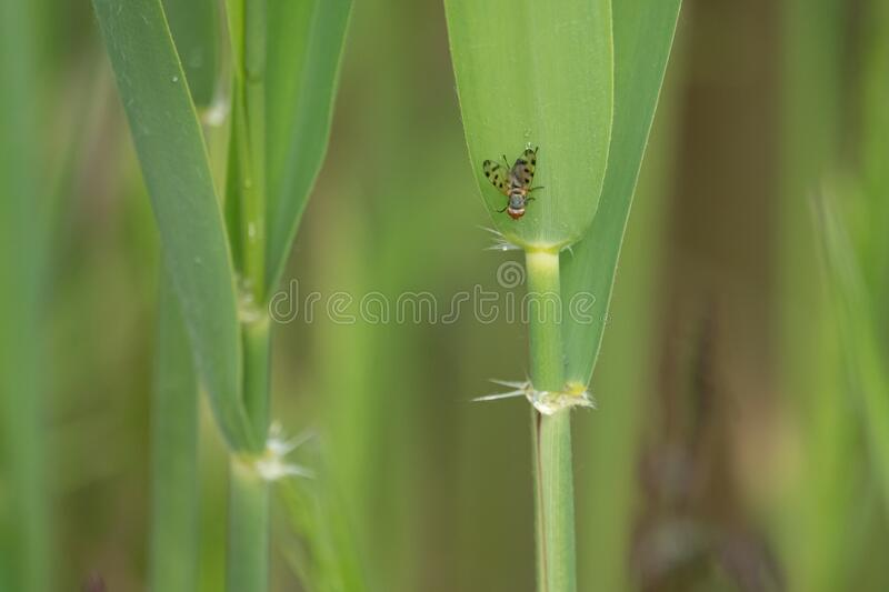 Small fly with dotted wings hangs from a green reed royalty free stock images