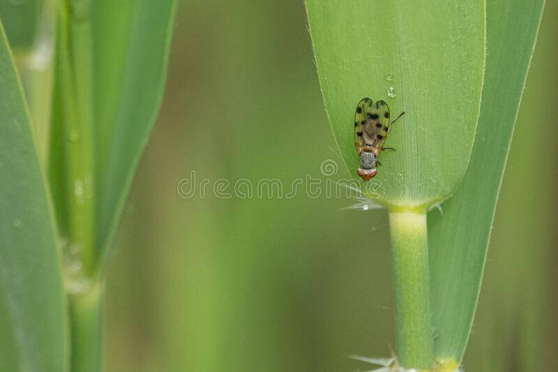 Small fly with dotted wings hangs from a green reed royalty free stock photo