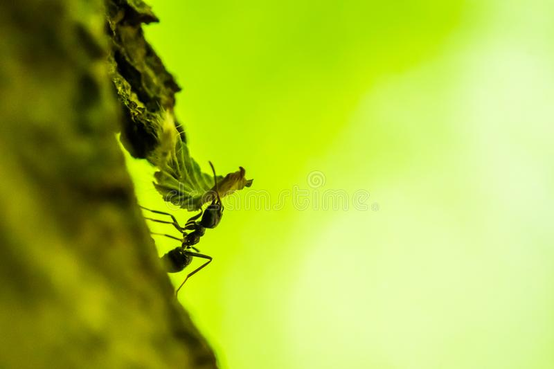 Small forest ant is carrying a leaf. Macro shot. Green background stock photos