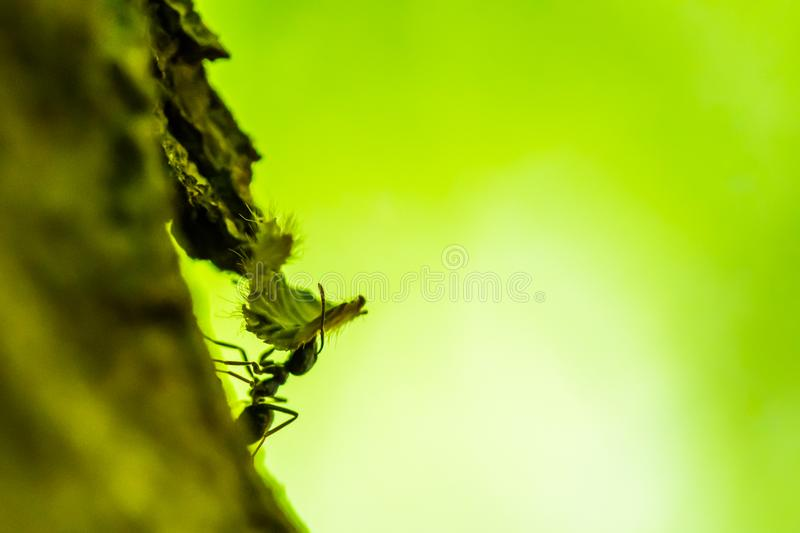 Small forest ant is carrying a leaf. Macro shot. Green background royalty free stock images