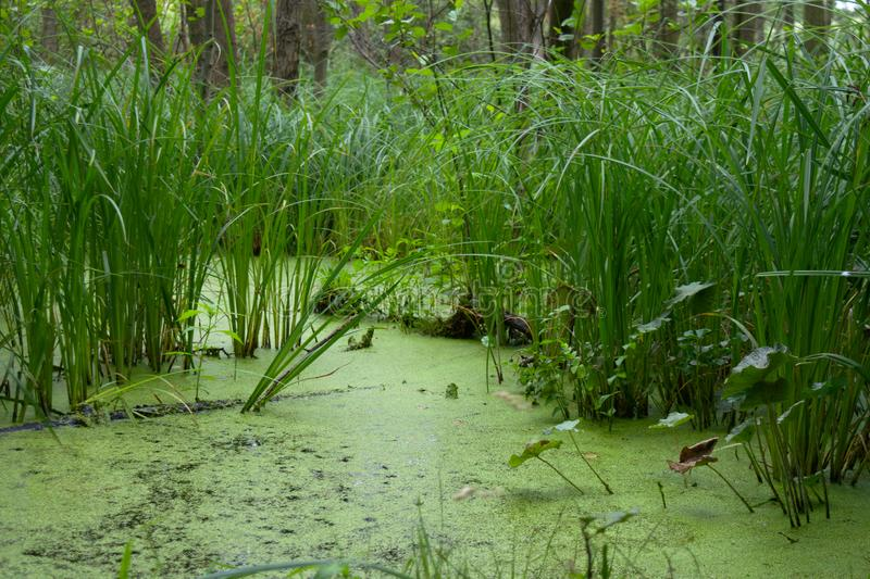Reed bed with lemna. Small forest lake with reeds and lemna - free-floating aquatic plants royalty free stock images