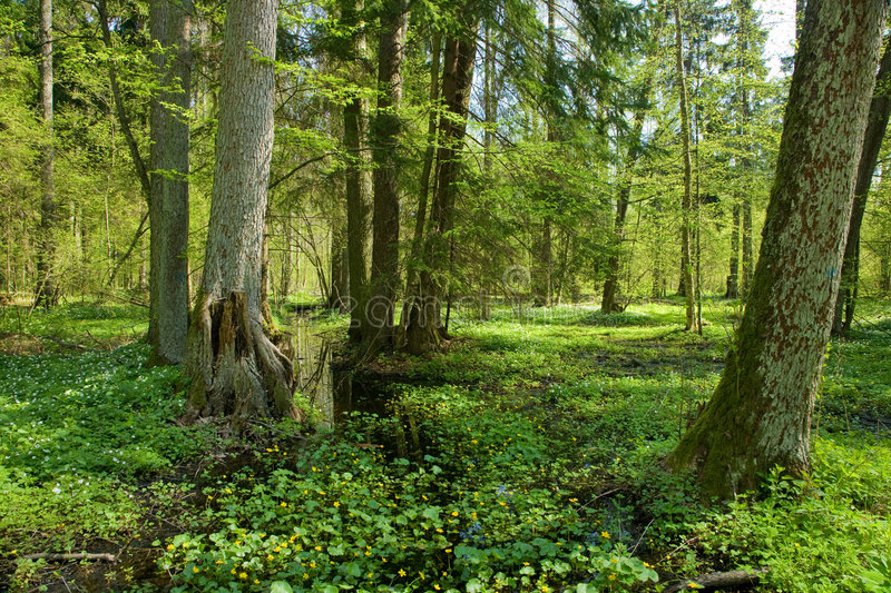 Small forest river crossing alder forest. At springtime wit marsh marigold flowers in foreground stock photography
