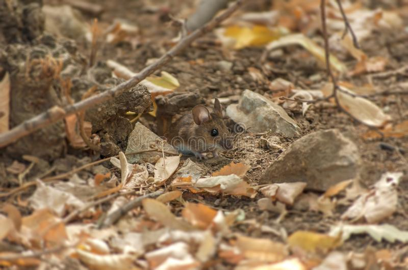 Small forest wooden mouse peaking from hole stock image