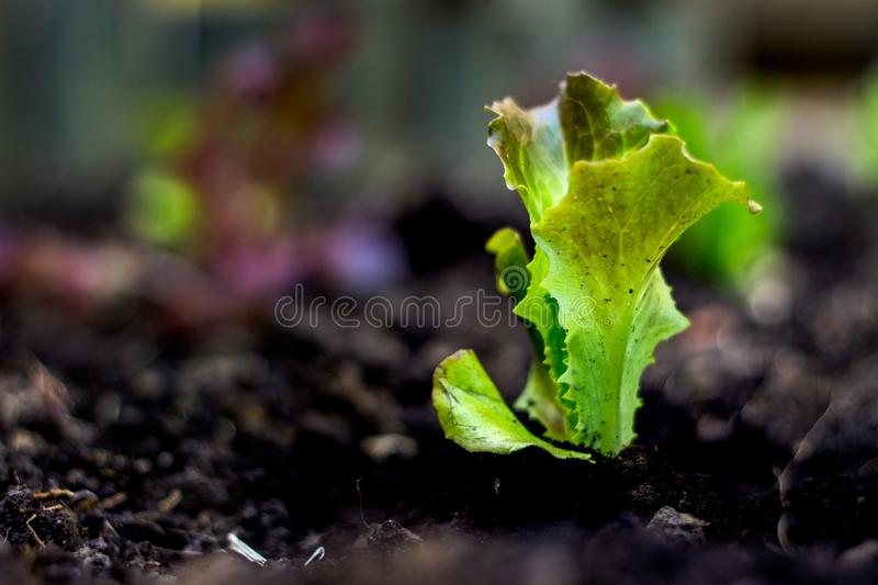 Small lettuce on the ground stock images