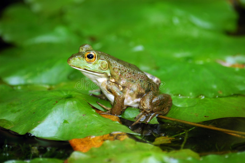 Small frog royalty free stock photos