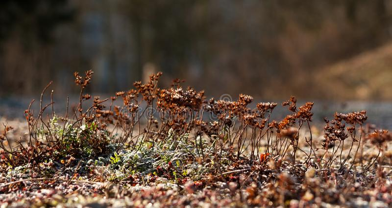 A small frozen brown plant royalty free stock images