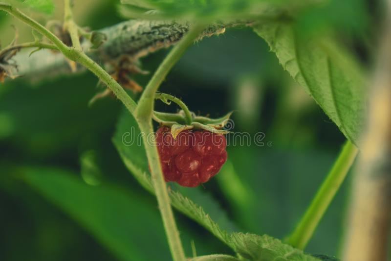 A small fruit of a red raspberry berry, recently ripened, on a green branch royalty free stock image