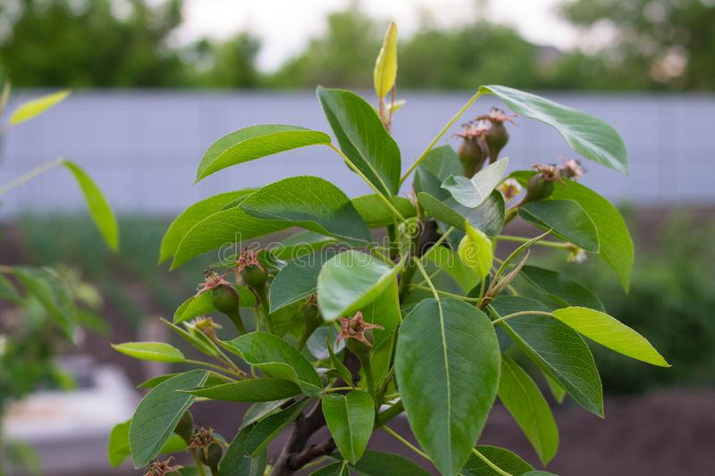 Small fruits on a pear tree. In spring time on the sunset stock images