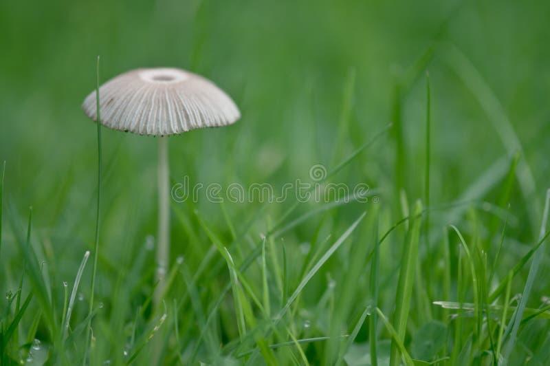 Small Fungi royalty free stock image