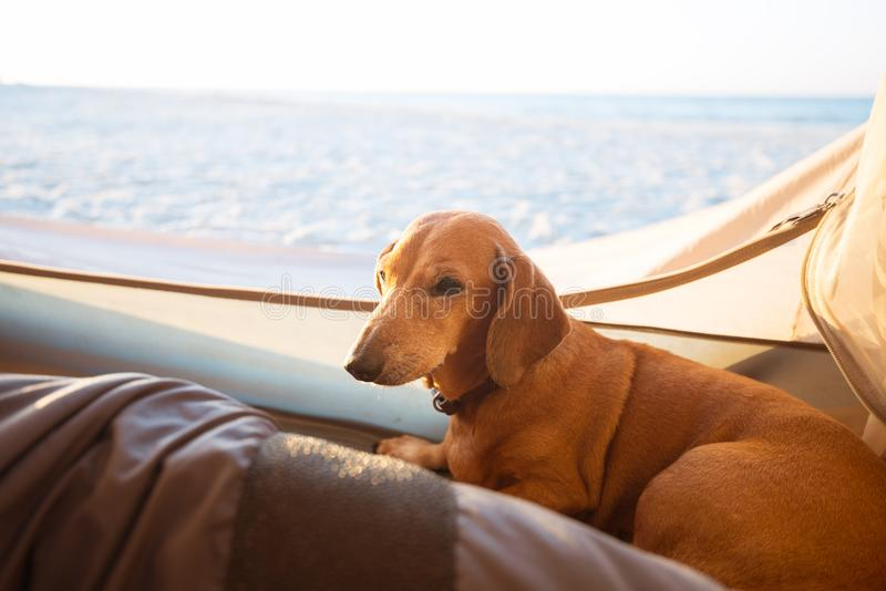 Small funny dog lays in a tent royalty free stock image