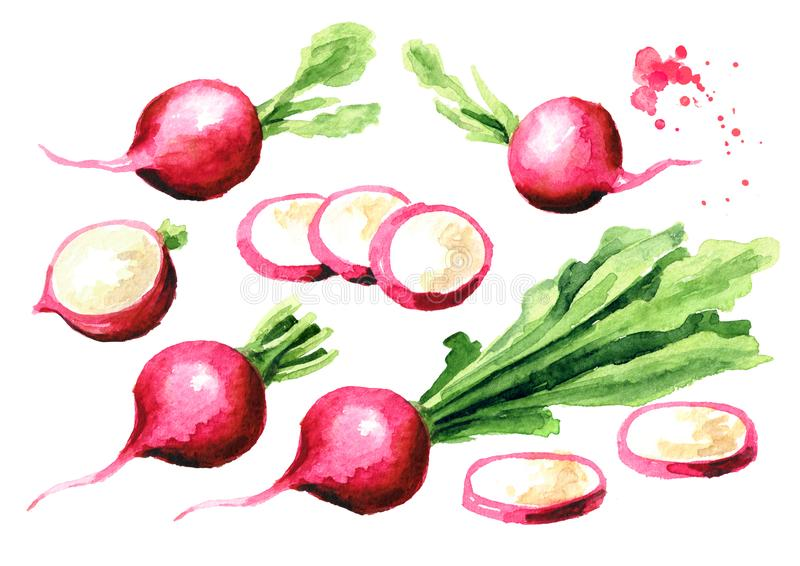 Small garden fresh red radish set. Graphic design elements. Watercolor hand drawn illustration, isolated on white background royalty free illustration