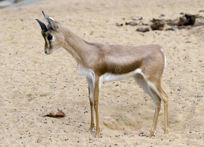 Download Small Gazelle Royalty Free Stock Images - Image: 22885659