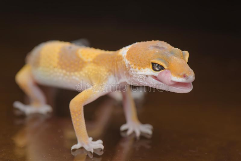 Small Gecko close up. Gecko, animal, orange, indonesia, wild, pet, nopeople, eye, small, color, sunlight, close, angry, little royalty free stock photo