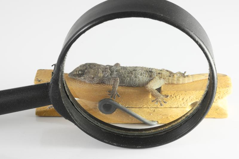 Small Gecko Lizard and Loupe. One Small Gecko Lizard and Loupe on a White Background stock image