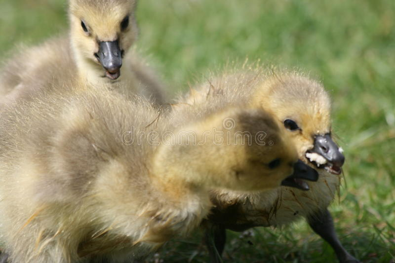 Download Small geeses stock image. Image of animals, fight, baby - 11056813