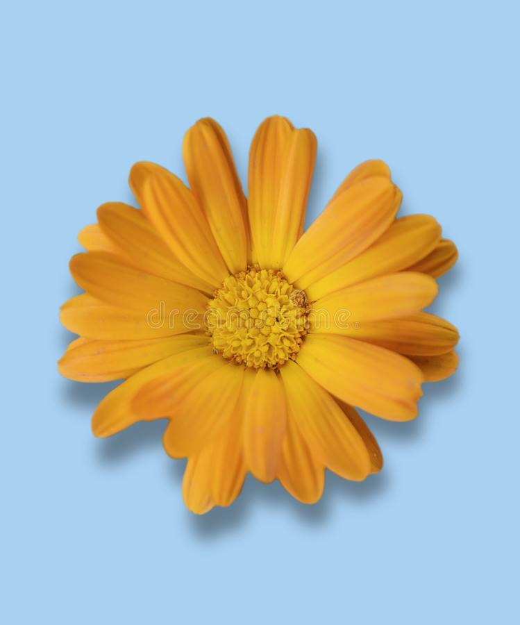 Small gerbera flower isolated on blue background stock photos