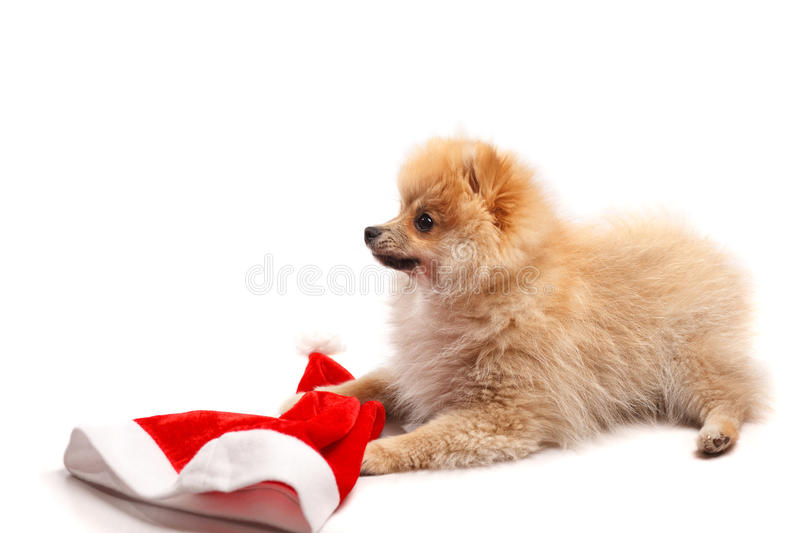 Small German Spitz puppy with a cap of Santa Claus royalty free stock photo