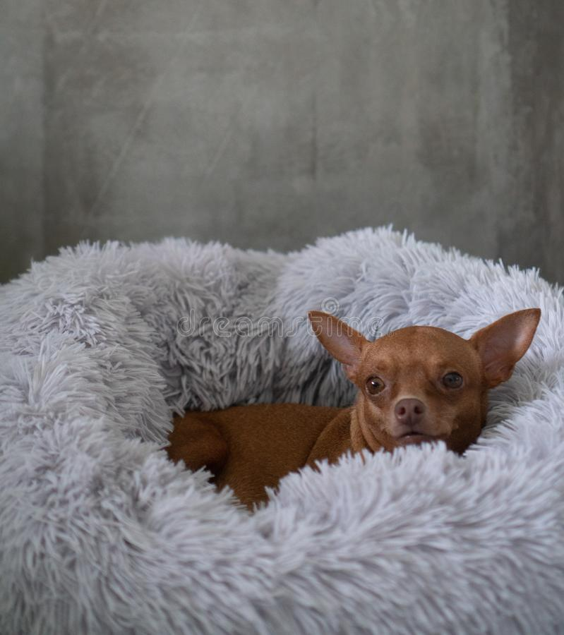 Free Small Ginger Pinscher In His Fluffy Bed Royalty Free Stock Images - 157725639
