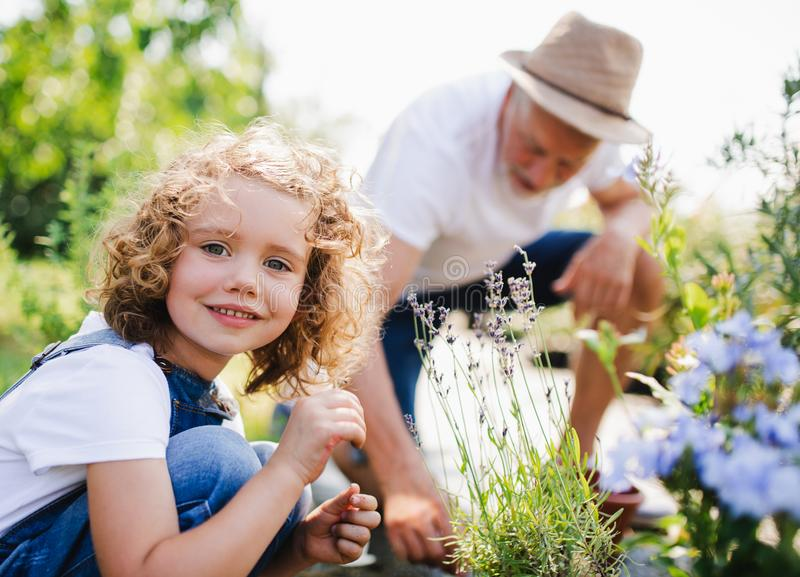 Small girl with senior grandfather gardening in the backyard garden. royalty free stock images