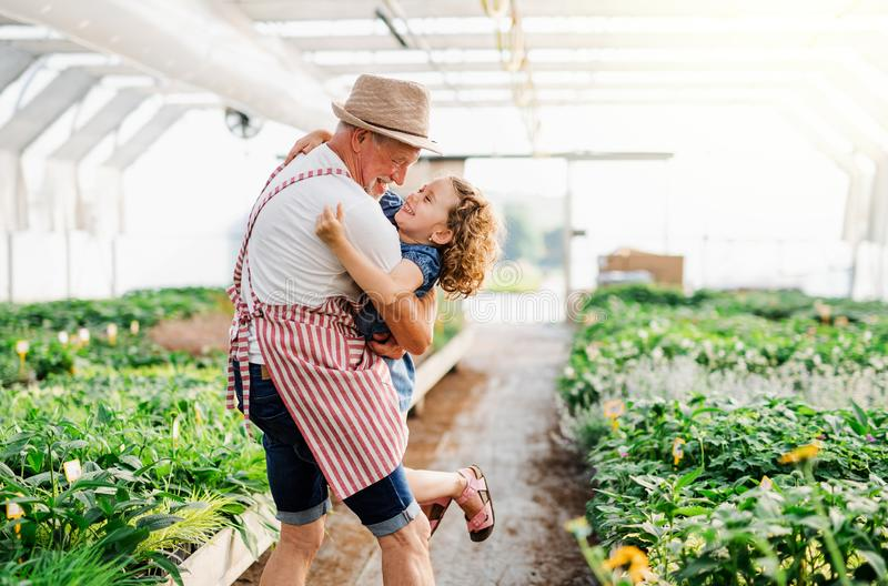 A small girl with senior grandfather in the greenhouse, having fun. stock image