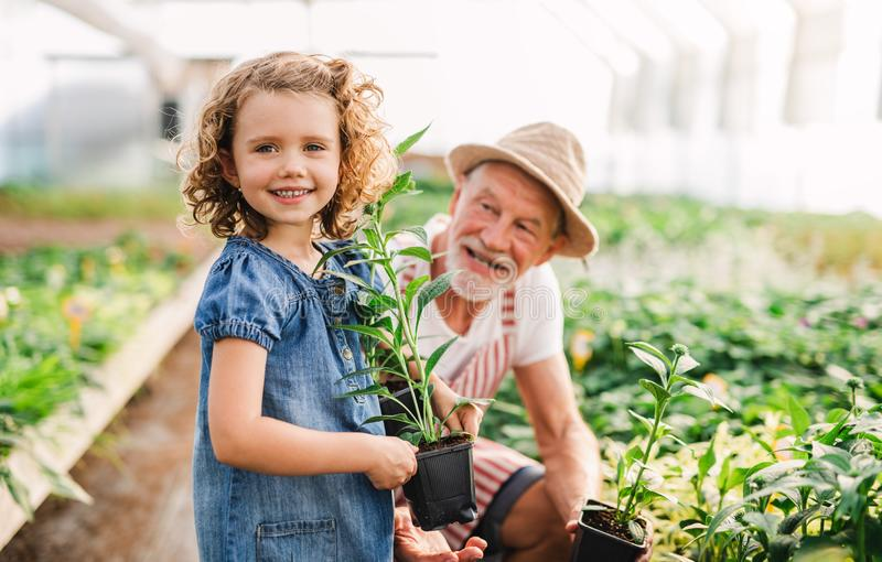 A small girl with senior grandfather in the greenhouse, working. royalty free stock photography