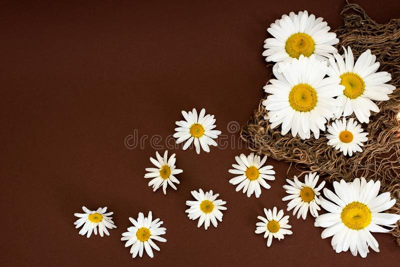Small glass bottle with essential roman chamomile oil on the old wooden background. Chamomile flowers, close up. Aromatherapy, spa royalty free stock image