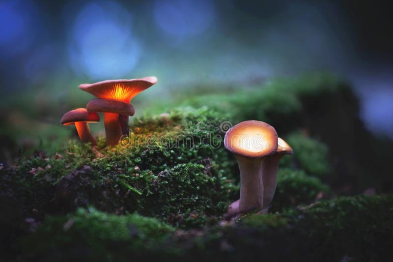 Glowing, magic mushrooms in a dark forest royalty free stock images