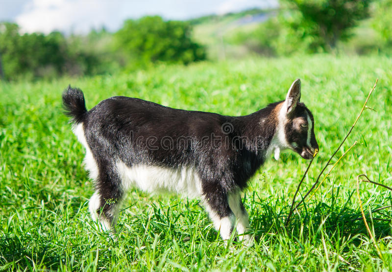 Download Small goat grazing stock photo. Image of portrait, newborn - 34404934