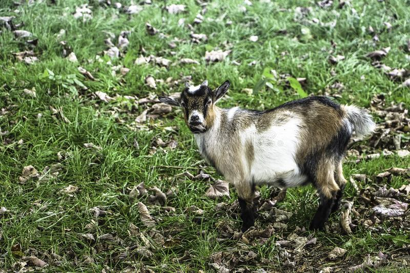 A small goat looking at the camera standing up royalty free stock photos