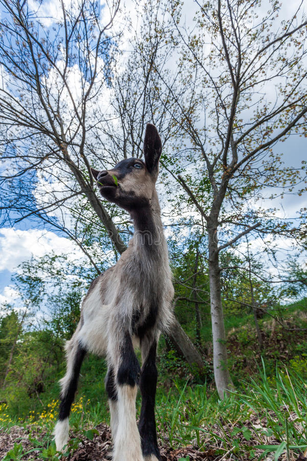 Small goat in nature royalty free stock image