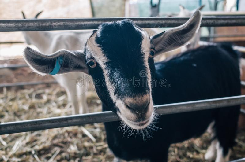 Small goats in the farm stock image