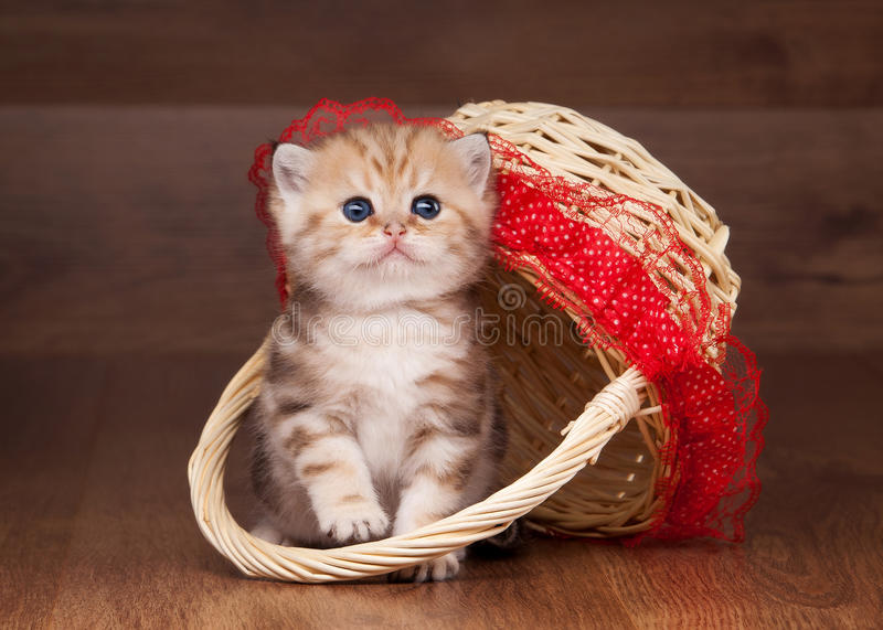 Download Small Golden British Kitten In Bask Stock Photo - Image of cattery, gold: 26803890