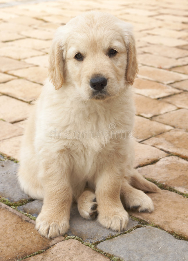 Download Small Golden Retriever Puppy Stock Photo - Image: 6482030