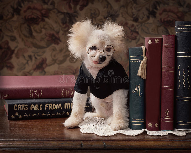 Small goofy dog in glasses on desk with books stock photos