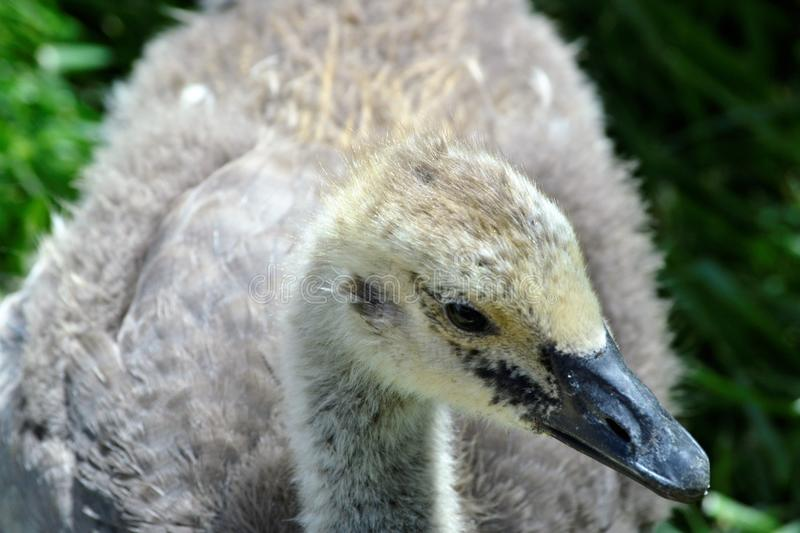 Small Goose royalty free stock image