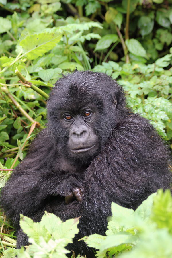 Small gorilla stock images