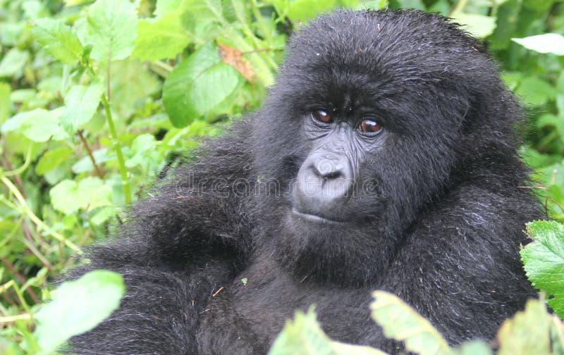 Small Gorilla stock photo