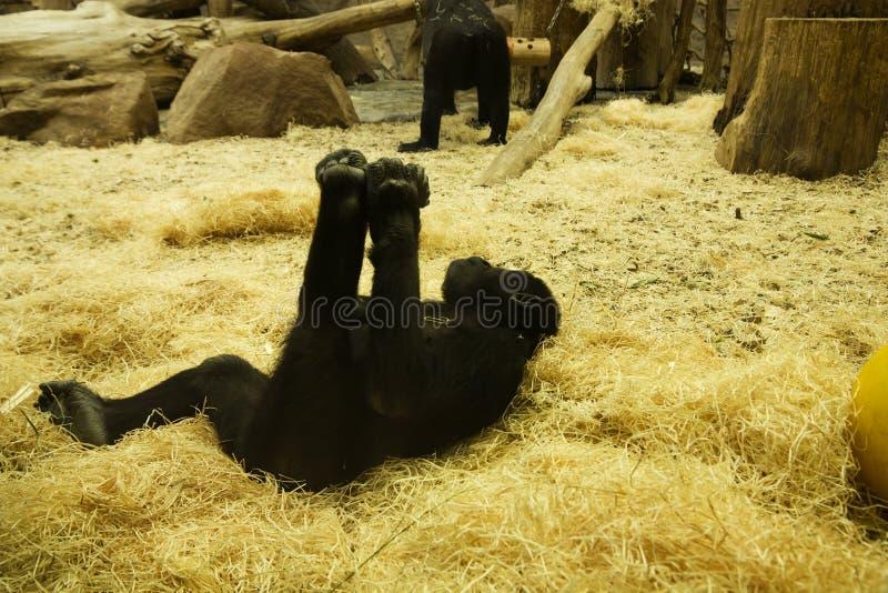 Small gorilla stock image