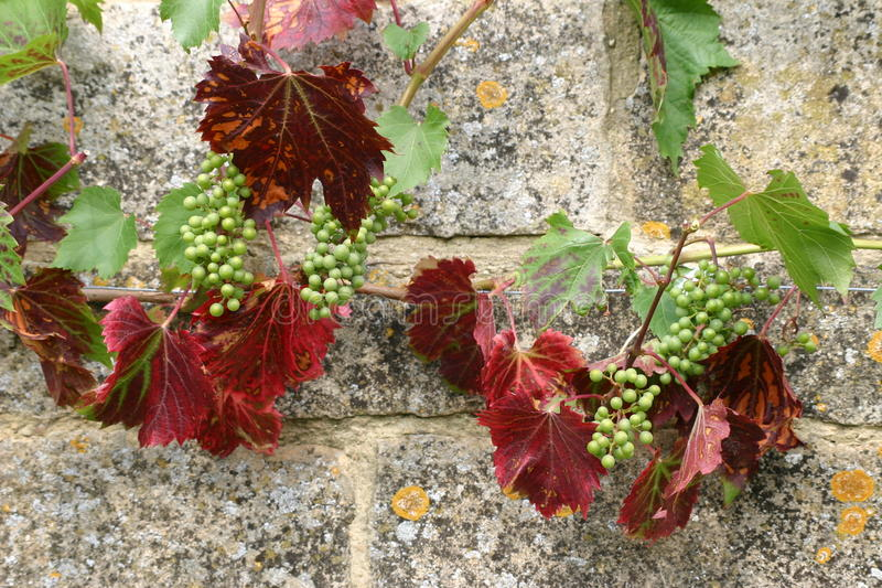 Small grapes growing on wall. Bunches of small developing grapes on a stone wall with lichens. Grape vine with red and green leaves stock photo