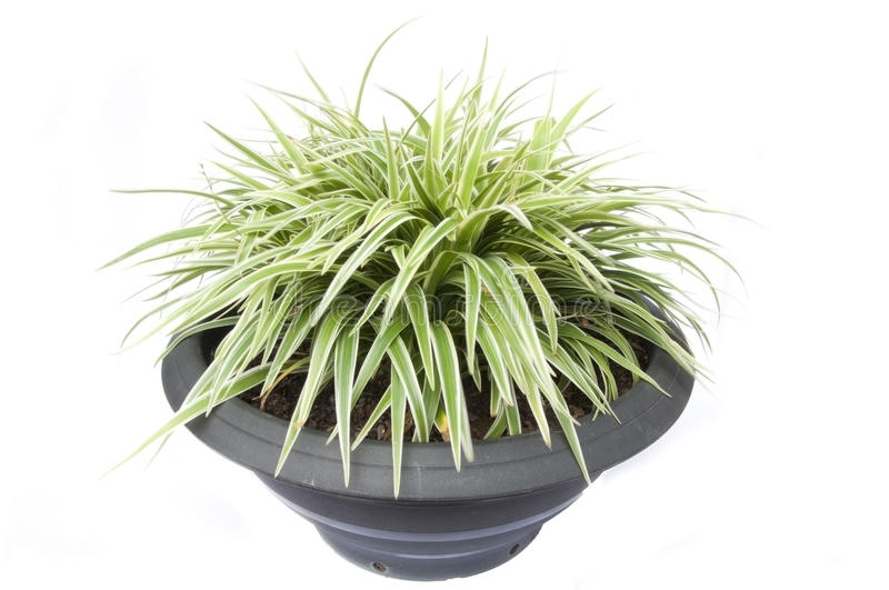 Download Small Grass As White Background Stock Photography - Image: 16572922