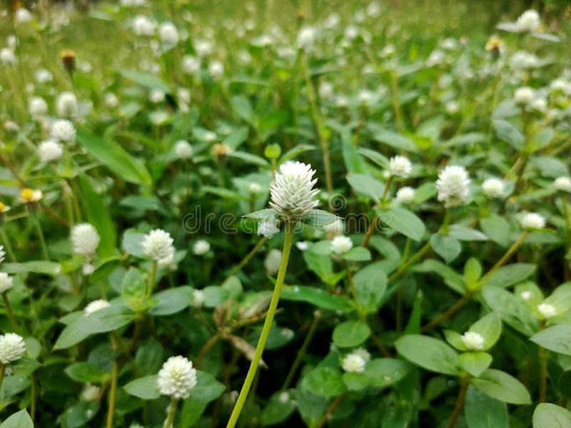 Small grass flowers grow along the pathway in the garden. stock photography
