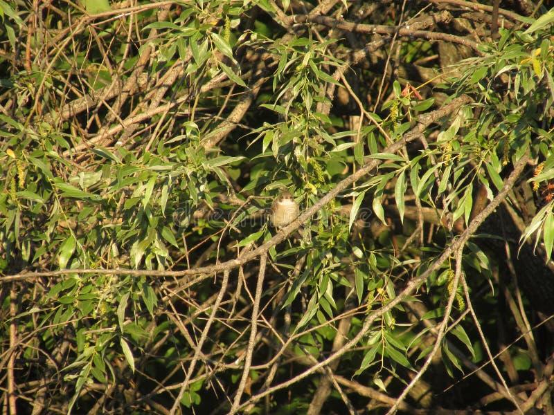 A small gray bird sitting on a vetkadikogo forest coastal tree with bright green sunny summer leaves. A small gray bird sitting on a vetkadikogo forest coastal stock image