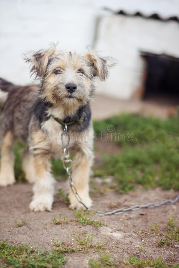 A small gray black dog on a chain is near his house. A small gray black dog on a chain is near house stock photography