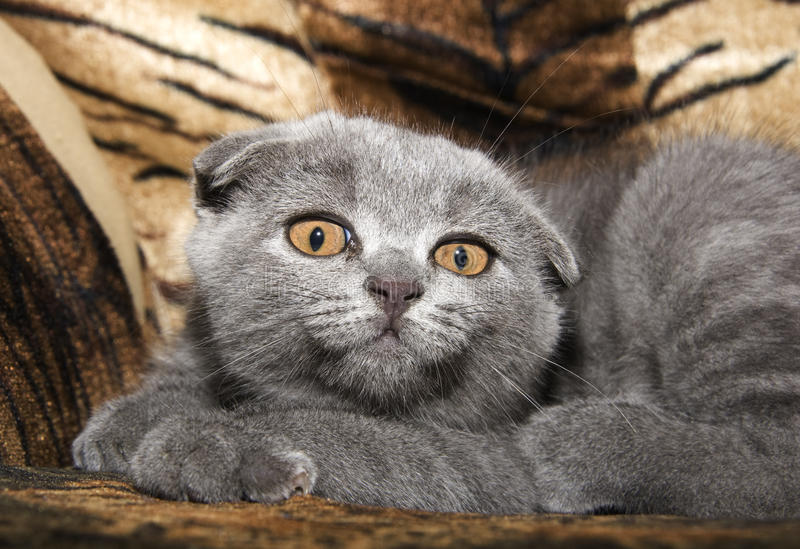 Download Small gray cat stock photo. Image of purebred, up, hair - 26615608