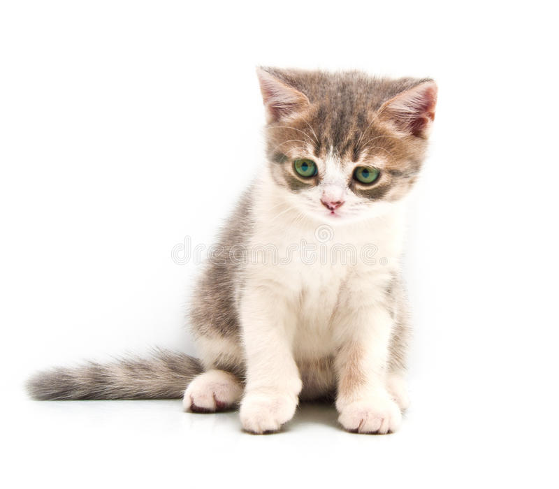 Small gray kitten. Isolated on a white background royalty free stock photography