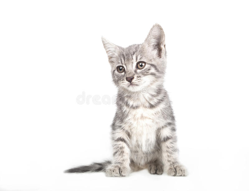 Small gray kitten. Isolated on white background royalty free stock photography