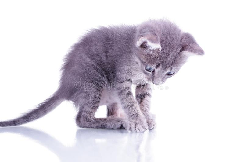 Small gray kitten isolated on white background playing stock image