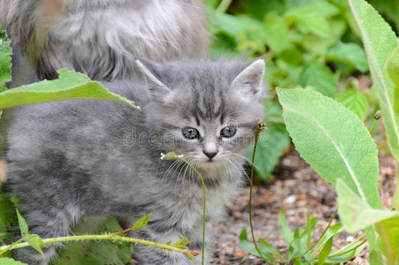 Small gray kitten learns the world walking in the bushes of grass. Small gray fluffy kitten learns the world and trying to explore all departing from the mother stock photography